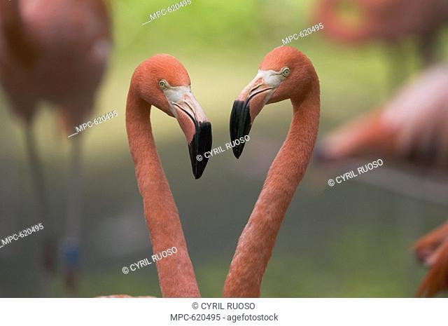Greater Flamingo Phoenicopterus ruber, pair, principally native to the Caribbean region and Galapagos Islands, Ecuador