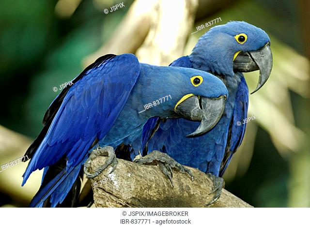 Hyacinth Macaw (Anodorhynchus hyacinthinus), adult, pair, native to South America
