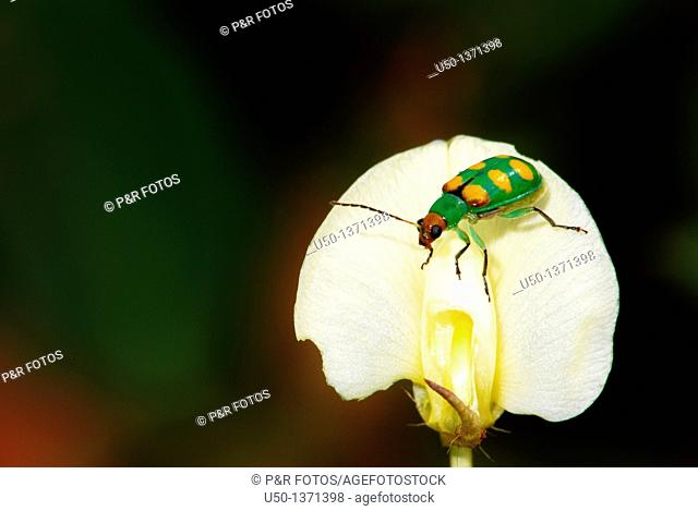 Spotted cucumber beetle Diabrotica speciosa, Chrysomelidae, Coleoptera on flower of perennial peanut Arachis pintoi, Leguminosae, Fabaceae, Acre, Brazil