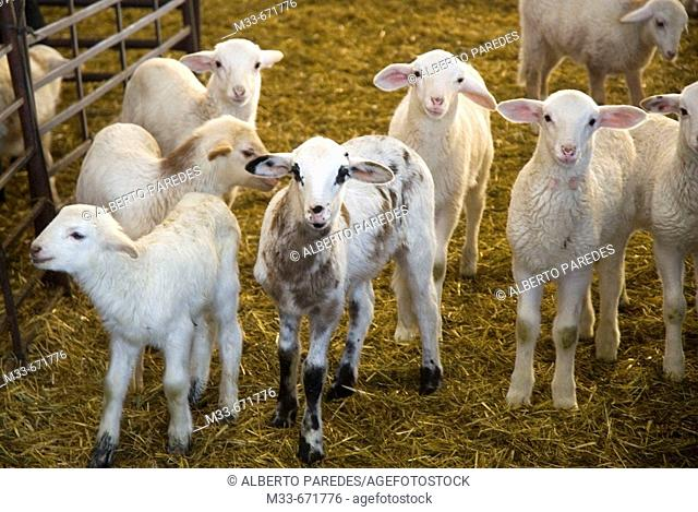 Lamb production process. Sheep and lambs. Alcazar de San Juan, Ciudad Real province. Spain