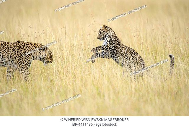 Young leopard (Panthera pardus) playing with its mother in savanna high grass, Masai Mara Preserve, Kenya