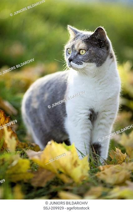 British Shorthair Cat. Tricolored adult standing in leaf litter. Germany