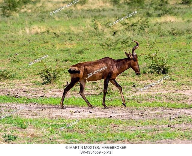Hartebeest or kongoni (Alcelaphus buselaphus), Okaukuejo, Etosha National Park, Namibia