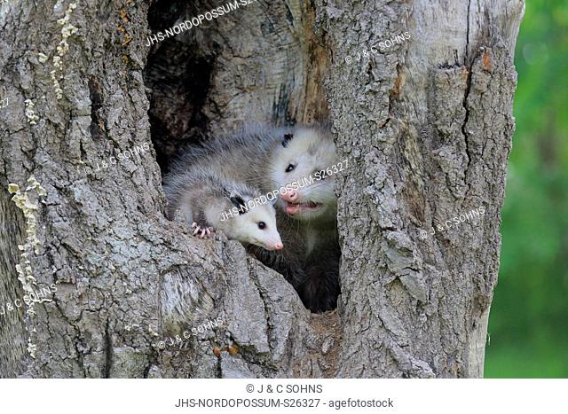 Virginia opossum, North American opossum, (Didelphis virginiana), adult with young looking out of den, Pine County, Minnesota, USA, North America