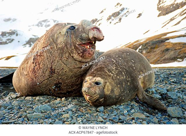 Southern elephant seals (Mirounga leonina) courting, St. Andrews Bay, Island of South Georgia, Antarctica