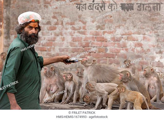 India, Rajasthan state, Jaipur, for 30 years, the Indian daily feeds monkeys in the neighborhood of Galta