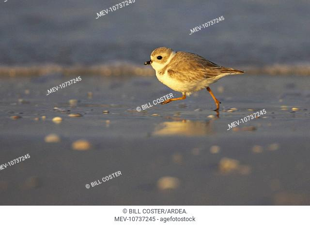Piping Plover - running across mudflats (Charadrius melodus)