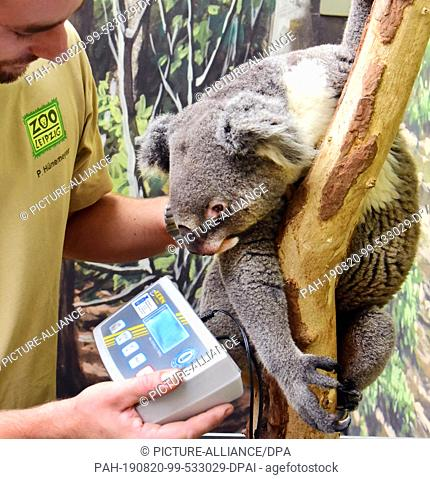 15 August 2019, Saxony, Leipzig: With Koalamännchen Moose daily weighing is announced by its keeper Philipp Hünemeyer. Two-year-old Koala came to Leipzig eight...