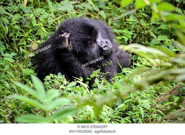 Mountain Gorilla (Gorilla beringei beringei), Nyakagezi gorilla group, Mgahinga Gorilla National Park, Virunga Volcanoes, Kisoro, Uganda, Africa
