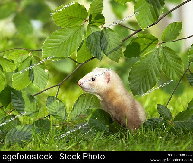 Ferret (Mustela putorius furo). Juvenile standing in a meadow under Beech twigs. Germany