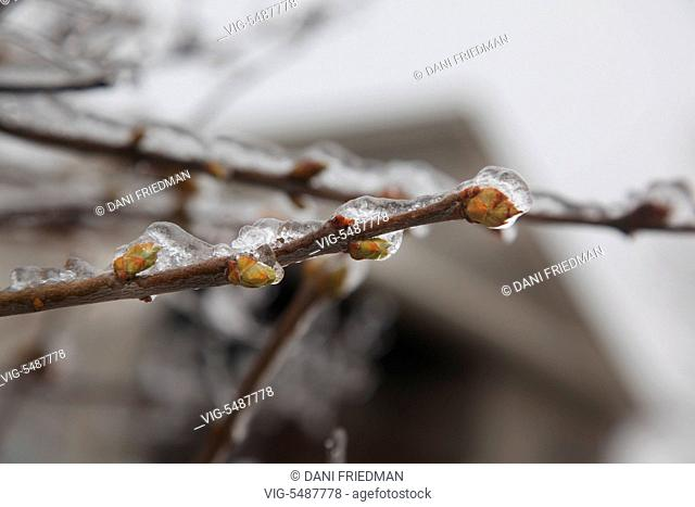 Buds on the branches of a tree covered in ice after an ice storm in Toronto, Ontario, Canada. - TORONTO, ONTARIO, CANADA, 24/03/2016