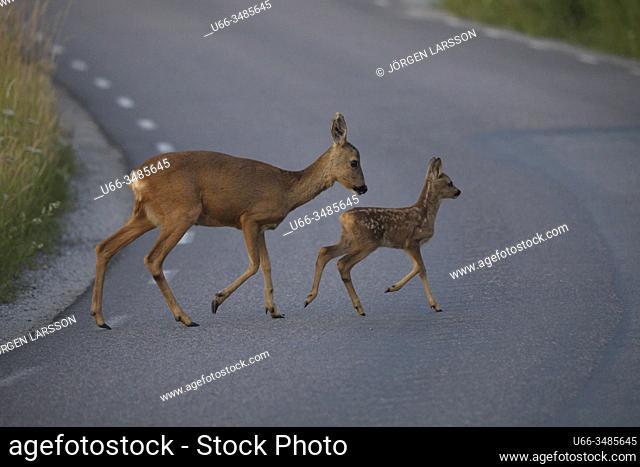Roe deer with fawn, Botkyrka, Sodermanland, Sweden