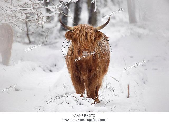 Highland Cow Bos domesticus - Deelerwoud, Veluwe, Gelderland, Guelders, The Netherlands, Holland, Europe