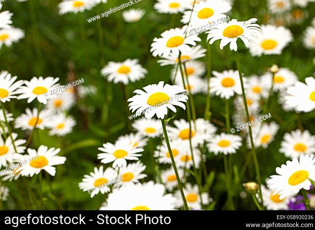 the flower of a camomile photographed in the field. summer