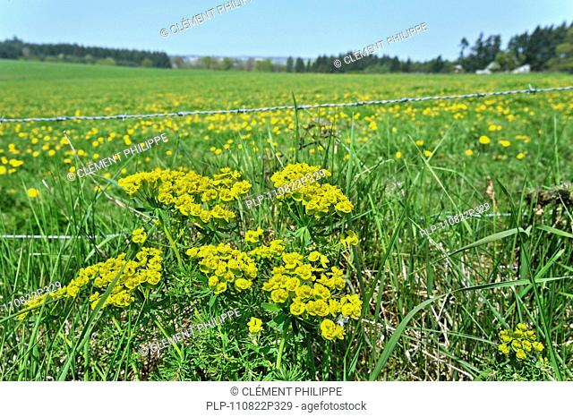 Cypress spurge Euphorbia cyparissias in flower along meadow, Luxembourg