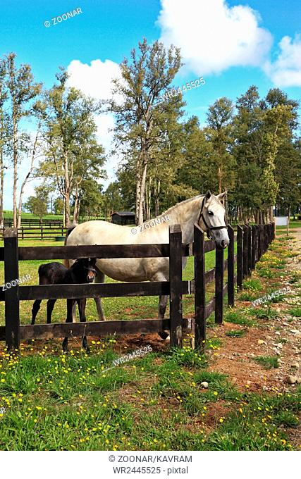 Thoroughbred white horse with a charming black colt