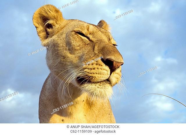 Inquisitive young lion (Panthera leo) -wide angle perspective-, Maasai Mara National Reserve, Kenya