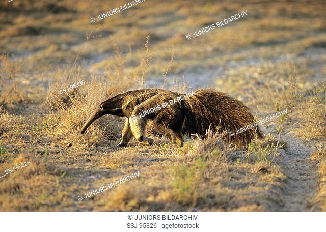 Myrmecophaga tridactyla / giant anteater