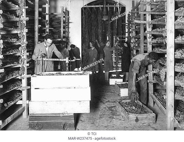 italy, tuscany, grapes, 1930-40