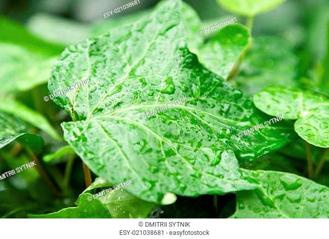 green leaf with drop water
