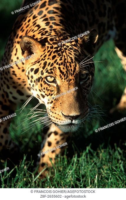 Jaguar. Panthera onca. Pantanal, Brazil, South America