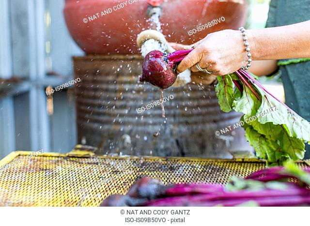 Woman's hands washing beetroot on allotment
