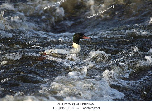 Goosander (Mergus merganser) adult male, swimming in fast-flowing river, River Nith, Dumfries and Galloway, Scotland, November