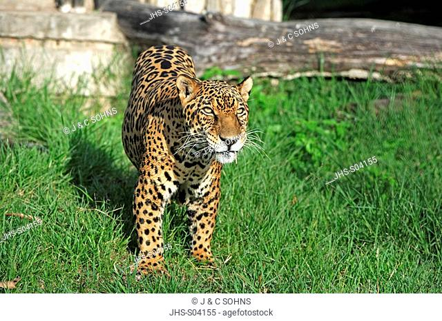 Jaguar,Panthera onca,Pantanal,Brazil,Adult,male