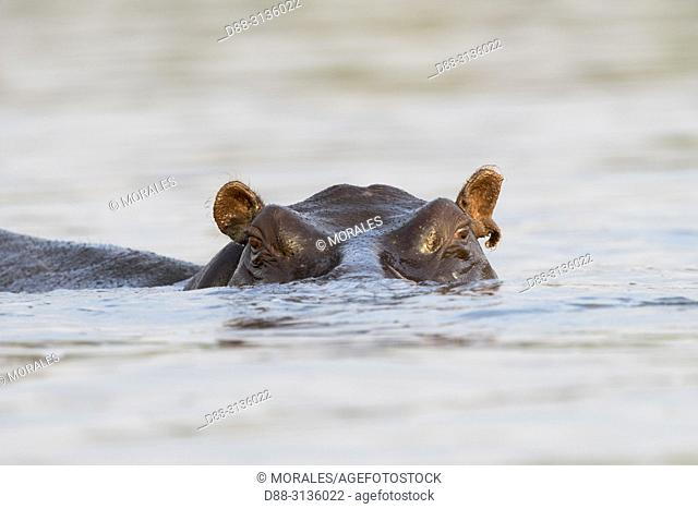 Africa, Southern Africa, Bostwana, Chobe i National Park, Chobe river, Common hippopotamus or Hippo (Hippopotamus amphibius), in the water