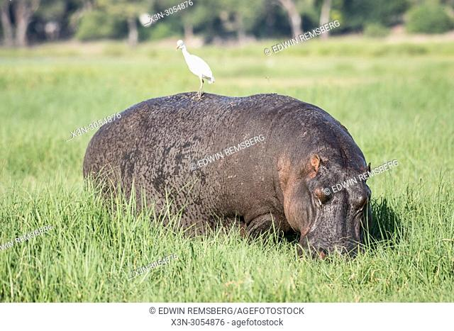 A bird perches on top of a large hippopotamus grazing on some grasses by the Chobe River. Chobe National Park - Botswana