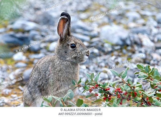 Snowshoe Hare sitting near Soapberry bush along the Marsh Fork of the Canning River in the Brooks Range, Arctic National Wildlife Refuge, Alaska, Summer