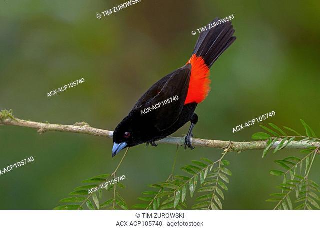 Male Passerini Tanager (Ramphocelus passerinii) at Laguna Lagarto Lodge near Boca Tapada, Costa Rica