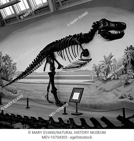 A fossil skeleton of the dinosaur, Tyrannosaurus rex on display at the Natural History Museum, London. This dinosaur lived 67 to 65 million years ago during the...