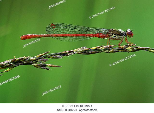 Small Red Damselfly (Ceriagrion tenellum) resting on a blade of grass, The Netherlands, Drenthe
