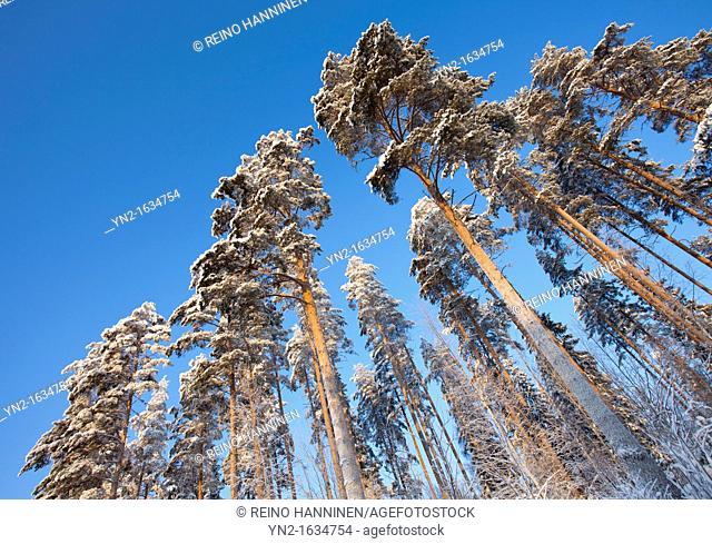 Pine, pinus sylvestris, trees at Winter  Location Suonenjoki Finland Scandinavia Europe EU