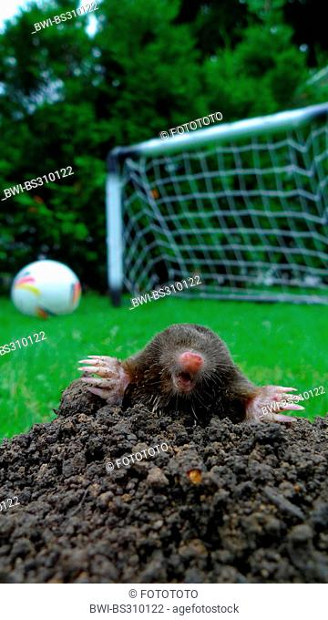 European mole (Talpa europaea), looking out of a molehill, football and goal in background, Germany