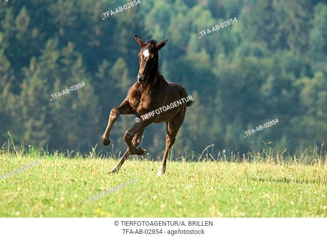 warmblood foal