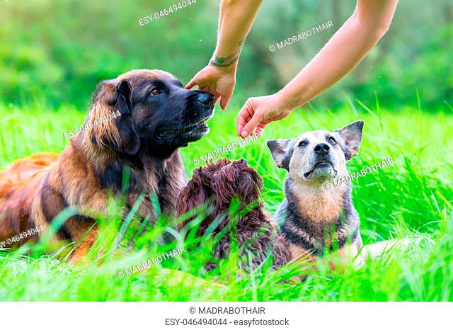 woman gives her Leonberger, Havanese and Australian cattledog a treat