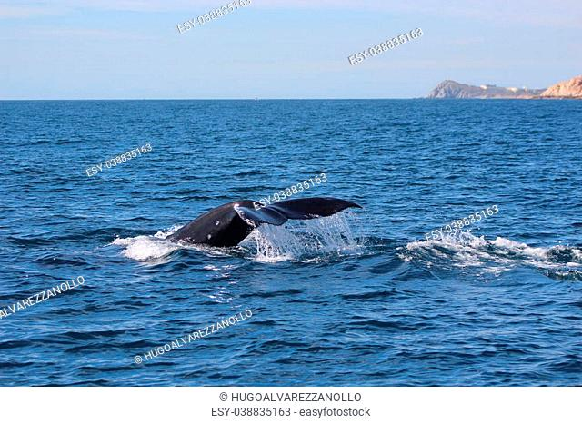 ballena en Los Cabos , M?xico