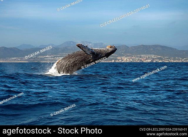 A breaching humpback whale in the ocean