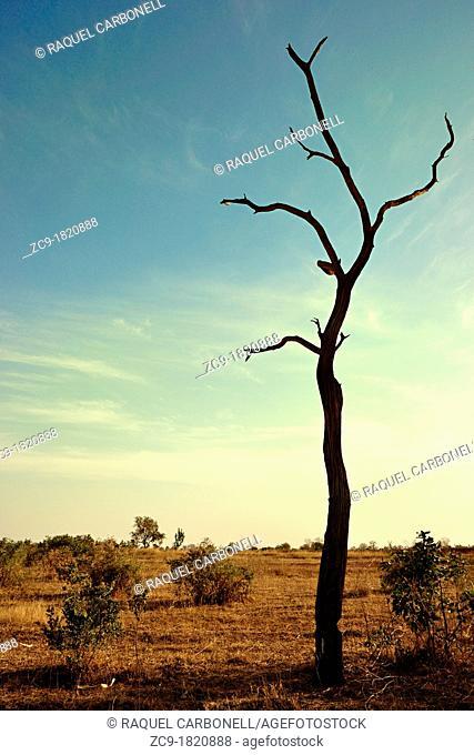 Leafless tree, Mali