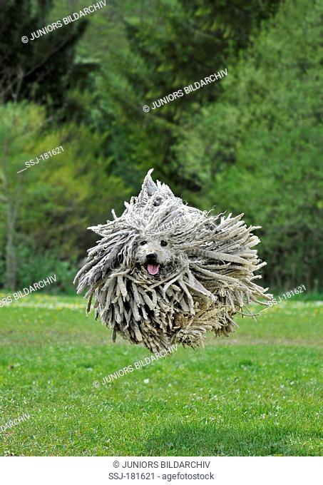 Puli, jumping dog