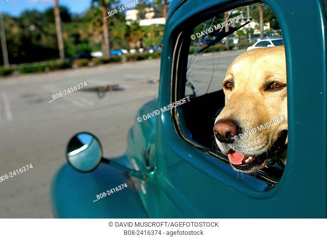 a dog sat in the front seat of an American trusk, santa Barbara, california, USA