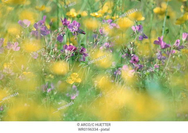 Wood, Cranesbill, and, Meadow, Buttercup, Lofotes, Norway, Geranium, sylvaticum, Ranunculus, acris
