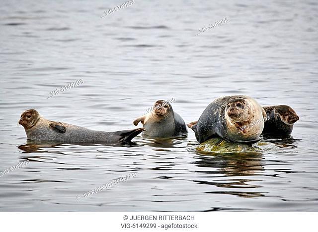 harbor seal (Phoca vitulina), Svalbard or Spitsbergen, Europe - , Svalbard, 24/06/2018