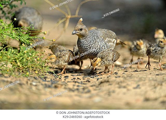 Scaled quail (Callipepla squamata) Adults and chicks