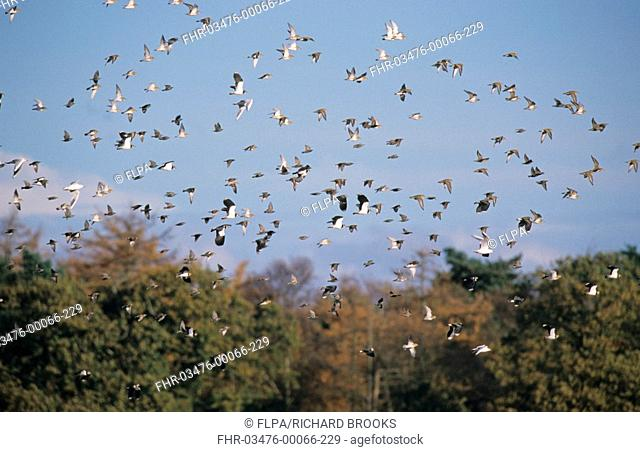 Eurasian Golden Plover Pluvialis apricaria flock flying with Lapwings, Starlings and Gulls, Norfolk, England, november