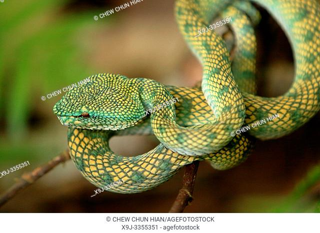 Malaysia, Sarawak state, Bako National Park, WagLer's pit viper (Tropidolaemus wagleri)
