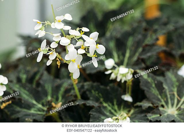 Green Leaves And Flower Of Plant Begonia Rex Putz, Commonly Known As King Begonia, Rex Begonia, Is A Rhizomatous Perennial From North India