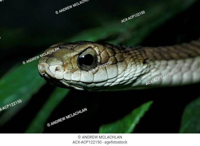 Boomslang (Dispholidus typus) - captive. Endemic to Africa